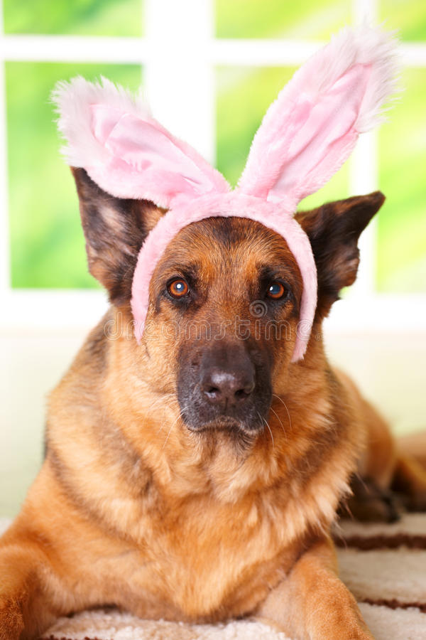 Easter bunny dog. German shepherd stock photography