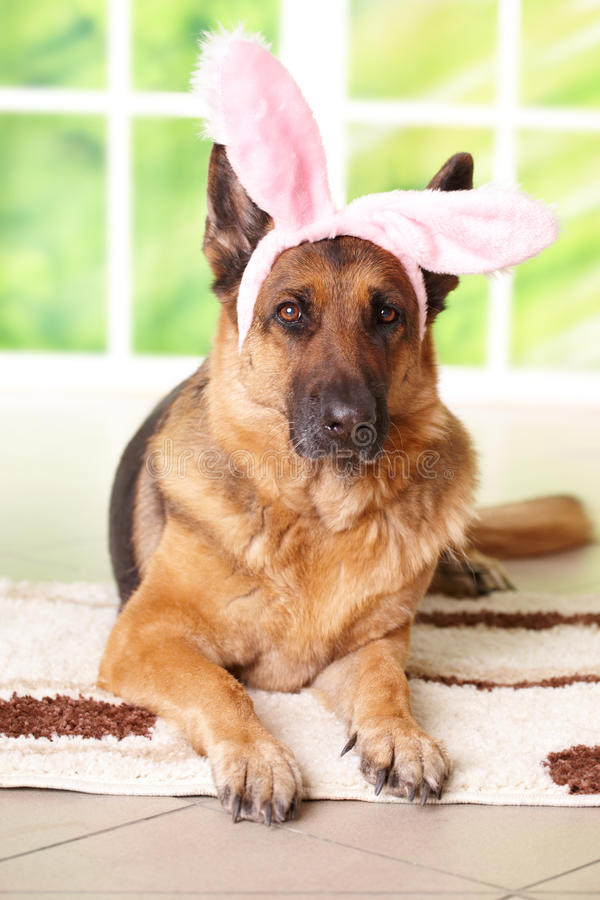 Easter bunny dog. German shepherd royalty free stock photo