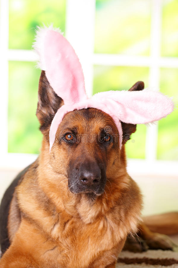 Easter bunny dog. With rabbit ears on the head laying in home, German shepherd royalty free stock image