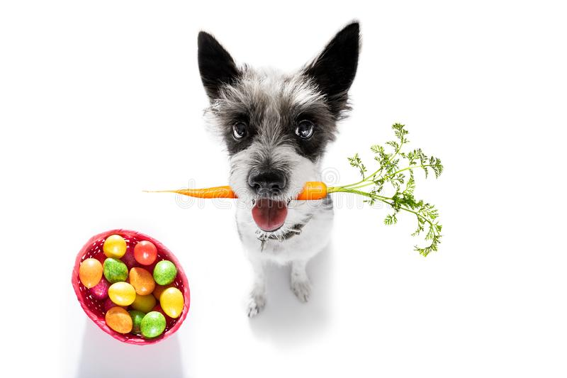 Easter bunny dog. With basket and eggs isolated on white background for the holiday season royalty free stock images