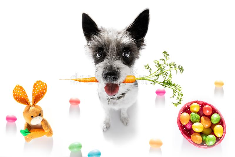 Easter bunny dog. With basket and eggs isolated on white background for the holiday season stock images