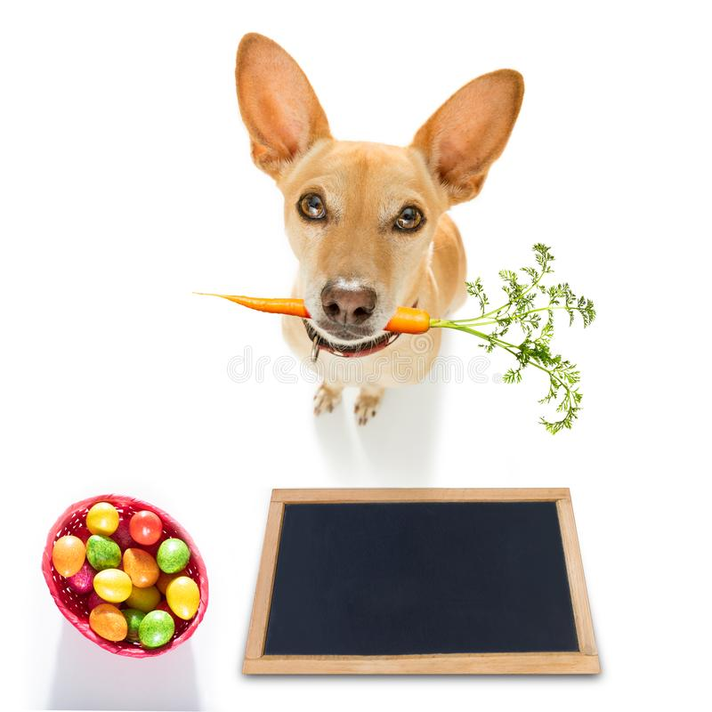 Easter bunny dog. With basket and eggs isolated on white background for the holiday season with blackboard banner or placard royalty free stock photo