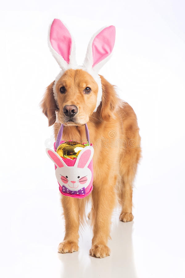 Easter bunny dog with basket and golden egg. Golden retriever dog wearing bunny ears holding an Easter Egg basket in his mouth stock images