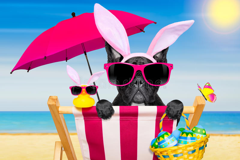 Easter bunny dog at the beach. French bulldog dog on a hammock , during easter holidays, with bunny ears, at the beach, in spring stock photography