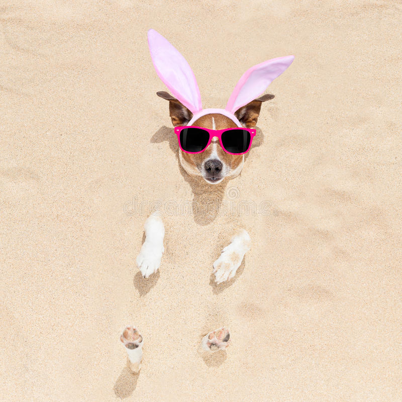 Easter bunny dog in bed. Easter bunny ears jack russell dog , at the beach buried in sand , on spring easter holidays royalty free stock photos