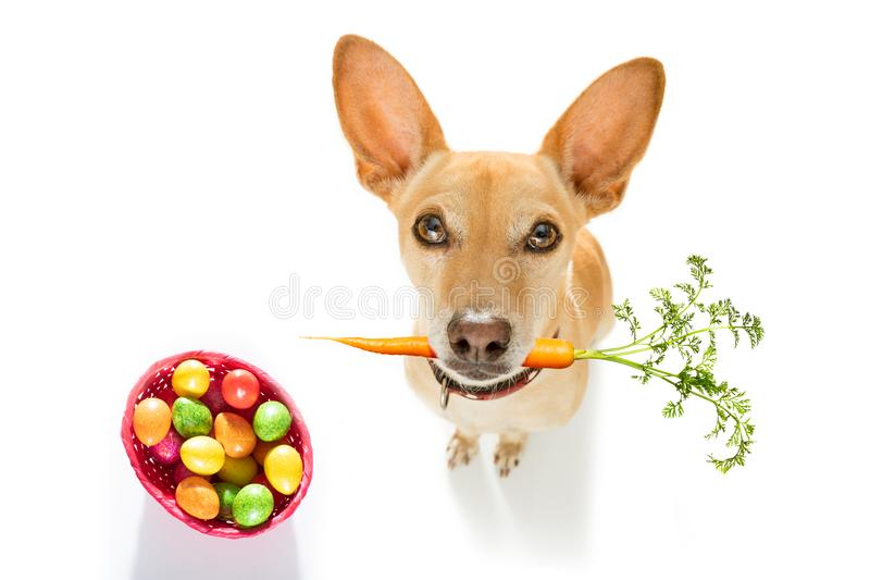 Easter bunny dog. Easter bunny chihuahua dog with basket and eggs isolated on white background for the holiday season stock photography
