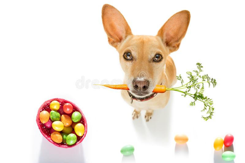 Easter bunny dog. Easter bunny chihuahua dog with basket and eggs isolated on white background for the holiday season royalty free stock photos