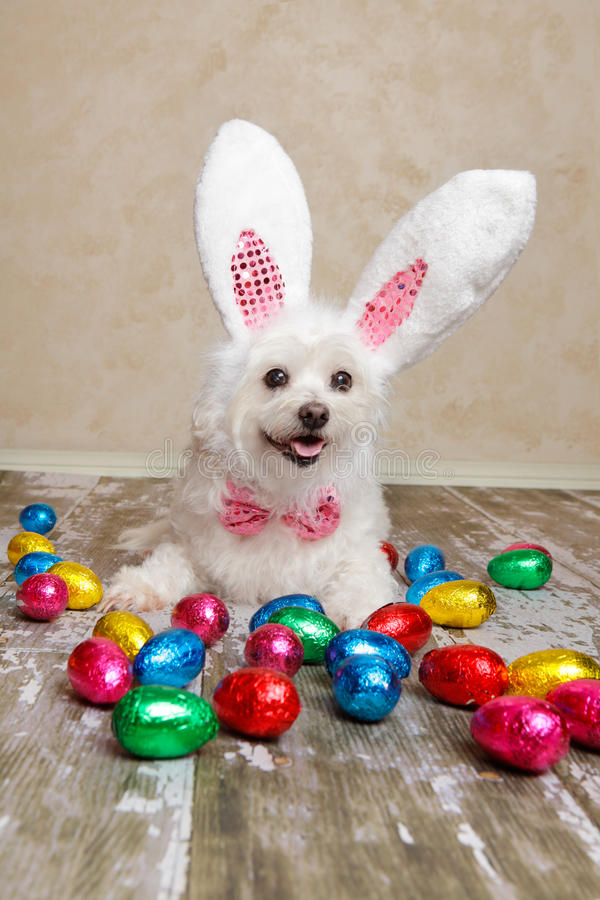Easter bunny dog with chocolate easter eggs. An easter bunny dog surrounded by various colourful foil wrapped chocolate easter eggs stock images