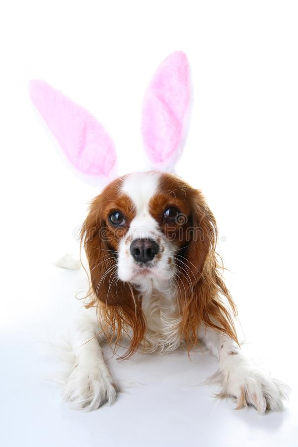 Easter bunny dog. Dog puppy with rabbit ears. Celebrate easter with cute cavalier king charles spaniel photo. Dog wearing rabbit c. Ostume stock images
