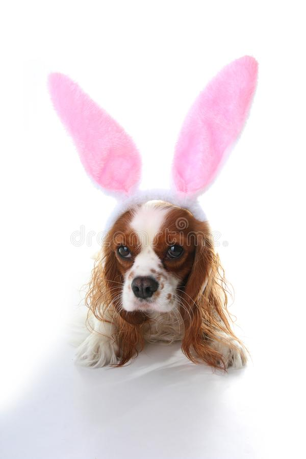 Easter bunny dog. Dog puppy with rabbit ears. Celebrate easter with cute cavalier king charles spaniel photo. Dog wearing rabbit c. Ostume royalty free stock photos