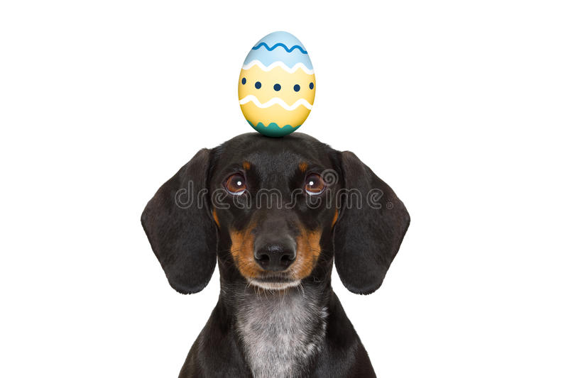 Easter bunny dog with egg. Funny dachshund sausage dog easter bunny with egg on head , looking up, isolated on white background royalty free stock images