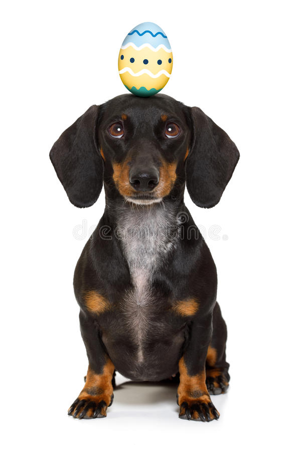 Easter bunny dog with egg. Funny dachshund sausage dog easter bunny with egg on head , looking up, isolated on white background royalty free stock photos