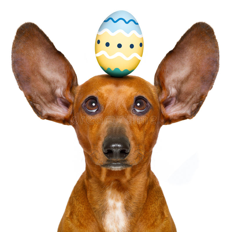 Easter bunny dog with egg. Funny dachshund sausage dog easter bunny with egg on head , looking up, isolated on white background stock photo