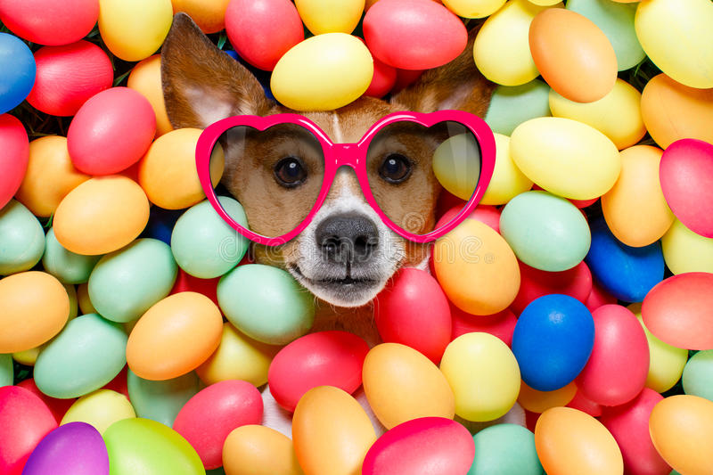 Easter bunny dog with eggs. Funny jack russell easter bunny dog with eggs around on grass as background, wearing sunglasses royalty free stock photos
