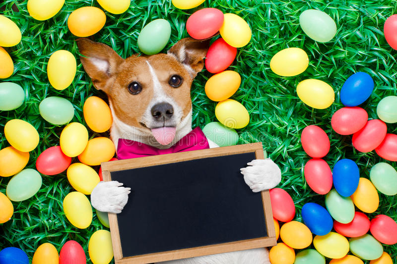 Easter bunny dog with eggs. Funny jack russell easter bunny dog with eggs around on grass sticking out tongue holding blank empty blackboard or banner stock images