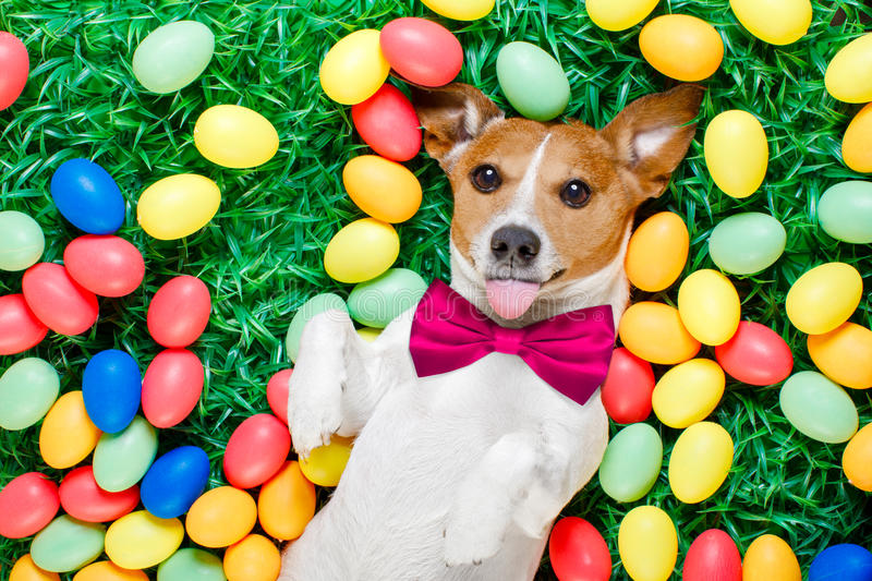 Easter bunny dog with eggs. Funny jack russell easter bunny dog with eggs around on grass sticking out tongue and resting stock photography