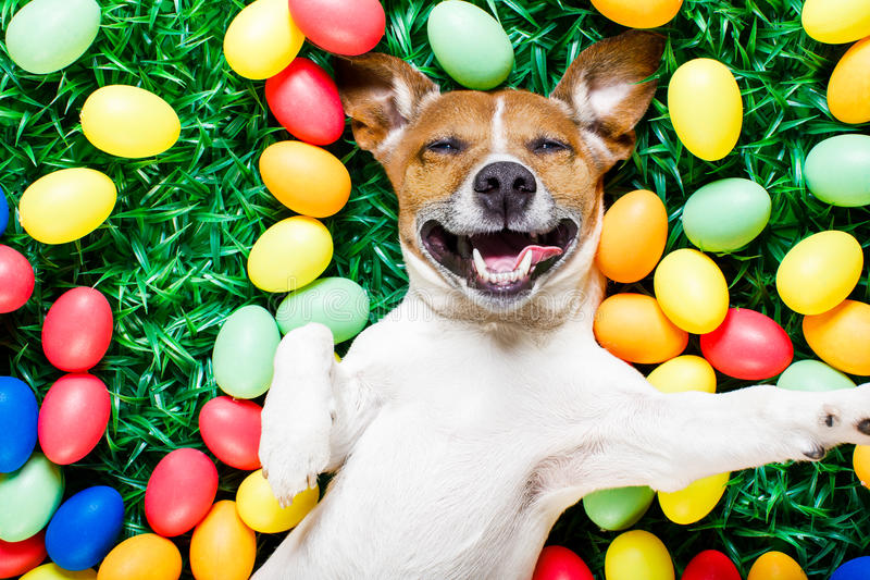Easter bunny dog with eggs selfie. Funny jack russell easter bunny dog with eggs around on grass laughing taking a selfie with smartphone stock photography