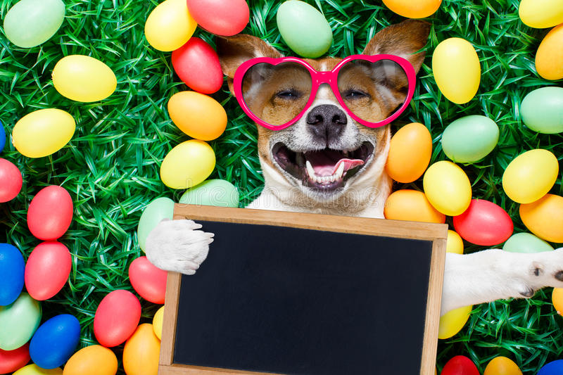 Easter bunny dog with eggs selfie. Funny jack russell easter bunny dog with eggs around on grass laughing taking a selfie with smartphone , holding a blackboard royalty free stock photos