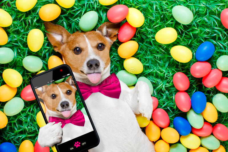 Easter bunny dog with eggs selfie. Funny jack russell easter bunny dog with eggs around on grass sticking out tongue taking a selfie with smartphone royalty free stock photo