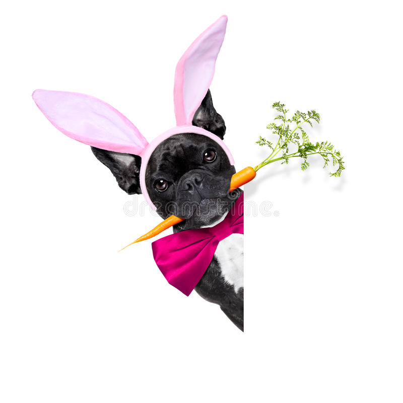 Easter bunny dog royalty free stock images