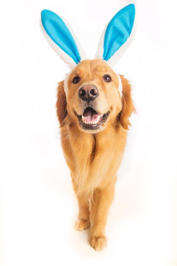 Easter bunny dog. Golden Retriver Dog wearing easter bunny ears stock photo