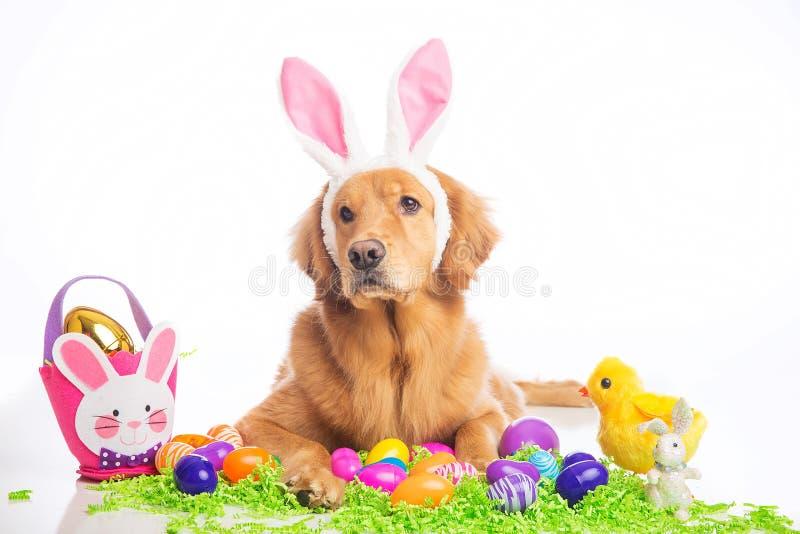 Easter bunny dog. Golden Retriver Dog wearing easter bunny ears stock photos