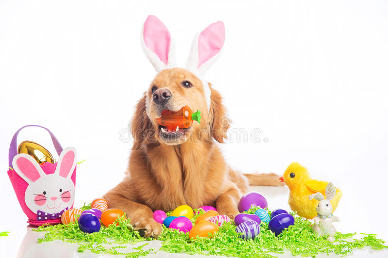 Easter bunny dog. Golden Retriver Dog wearing easter bunny ears royalty free stock image