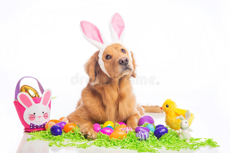 Easter bunny dog. Golden Retriver Dog wearing easter bunny ears royalty free stock photography