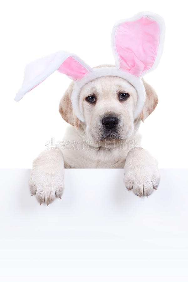 Easter Bunny Dog Sign. Easter bunny puppy dog in ears holding sign or banner royalty free stock photography