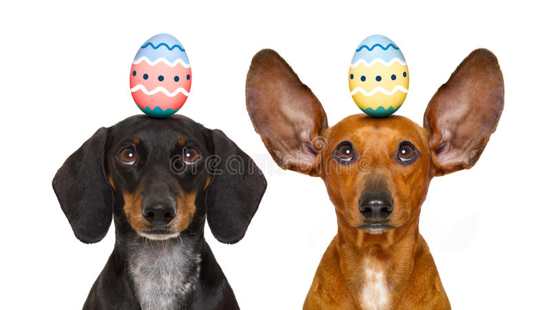 Easter bunny dogs with egg stock photography