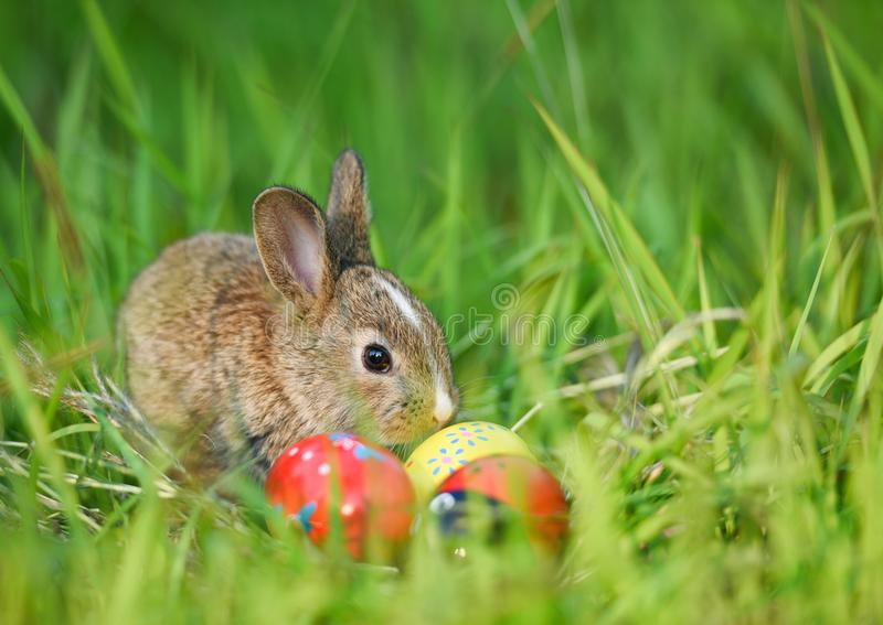 Easter bunny and Easter eggs on green grass outdoor / Little brown rabbit sitting. And colorful eggs on field spring meadow royalty free stock photo