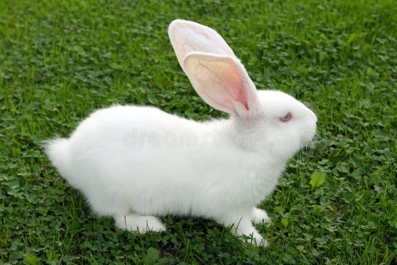 Easter bunny on green grass. Small, albino Easter bunny on green grass royalty free stock photography