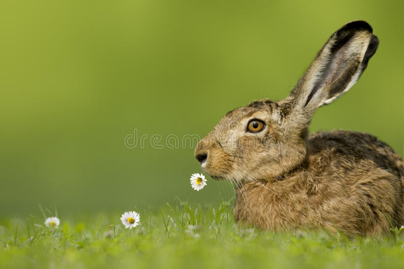 Easter bunny / hare sitting in meadow with flower in mouth. On green background stock photo