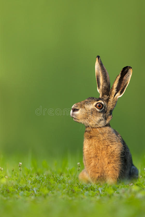 Easter bunny / hare sitting in meadow. On green background royalty free stock images