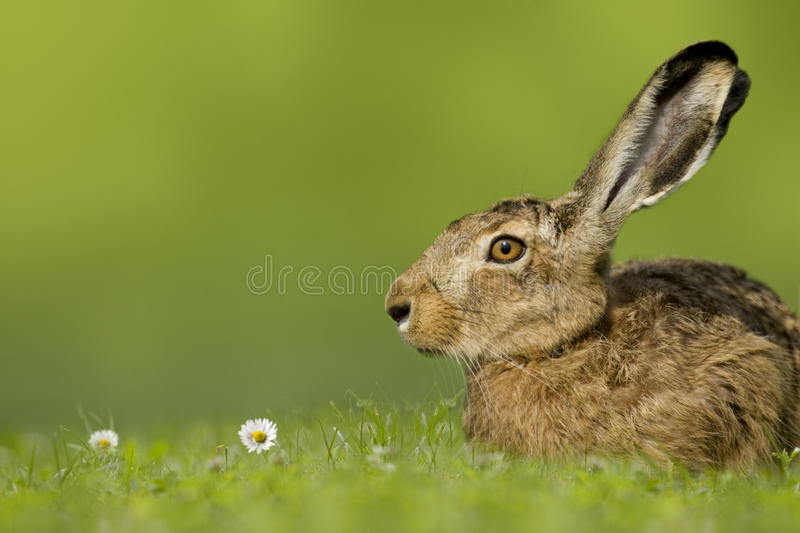 Easter bunny / hare sitting in meadow. On green background stock image
