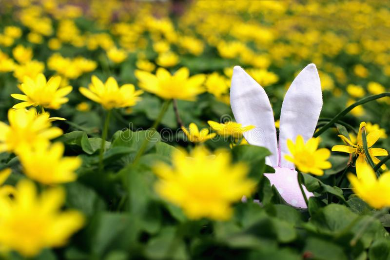 Easter bunny hidden on a flower meadow, yellow spring flowers on a meadow of green grass. Concept spring, ears hare stock images