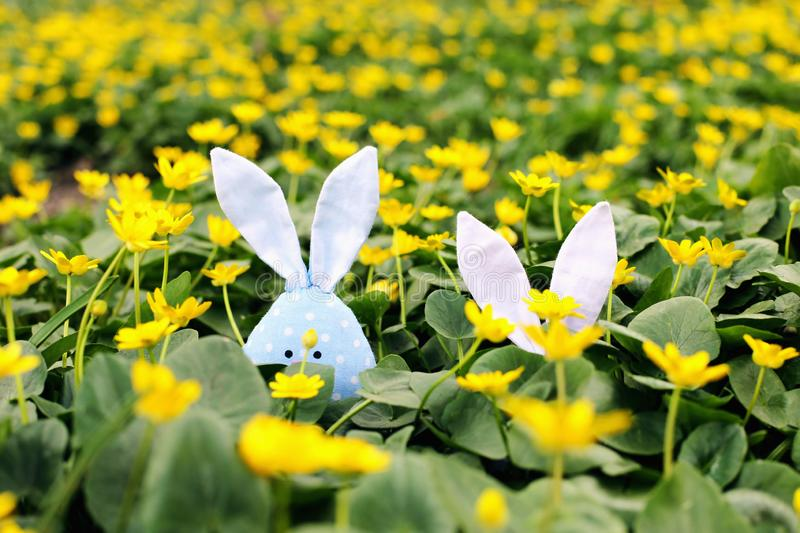 Easter bunny hidden on a flower meadow, yellow spring flowers on a meadow of green grass. Concept spring, ears hare stock photo