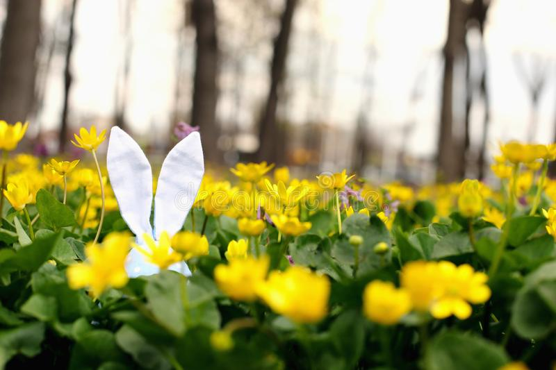Easter bunny hidden on a flower meadow, yellow spring flowers on a meadow of green grass. Concept spring, ears hare stock photography