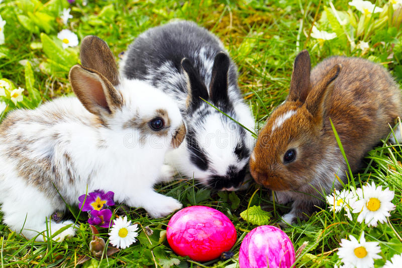 Easter Bunny hide eggs stock image. Image of primroses ...