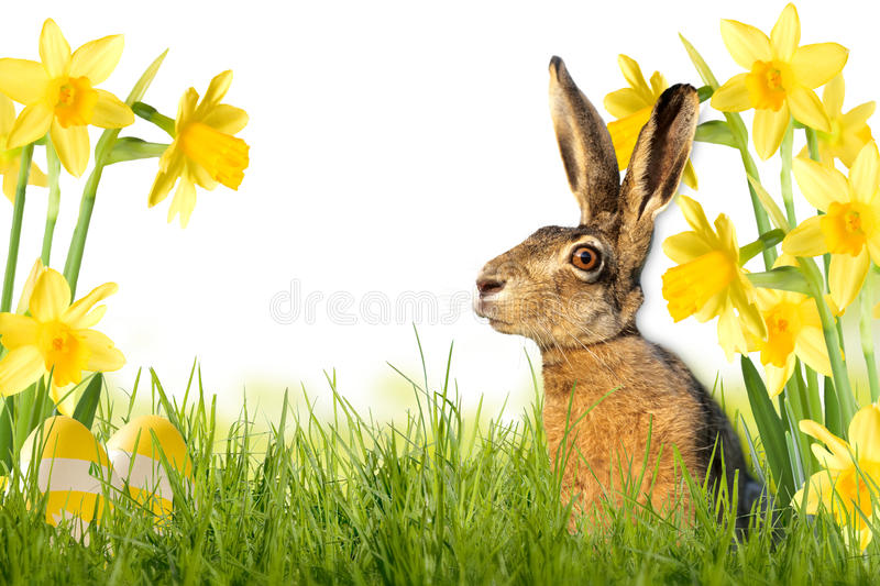 Easter bunny on meadow with daffodils. Isolated on white background royalty free stock image