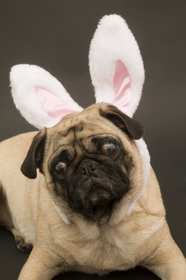 Easter Bunny Pug Royalty Free Stock Photo