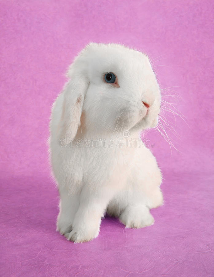 Easter Bunny rabbit. White Easter bunny rabbit portrait stock photo