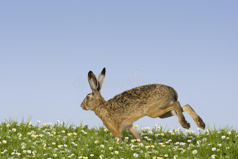 Easter bunny running. Across a field of flowers stock photography