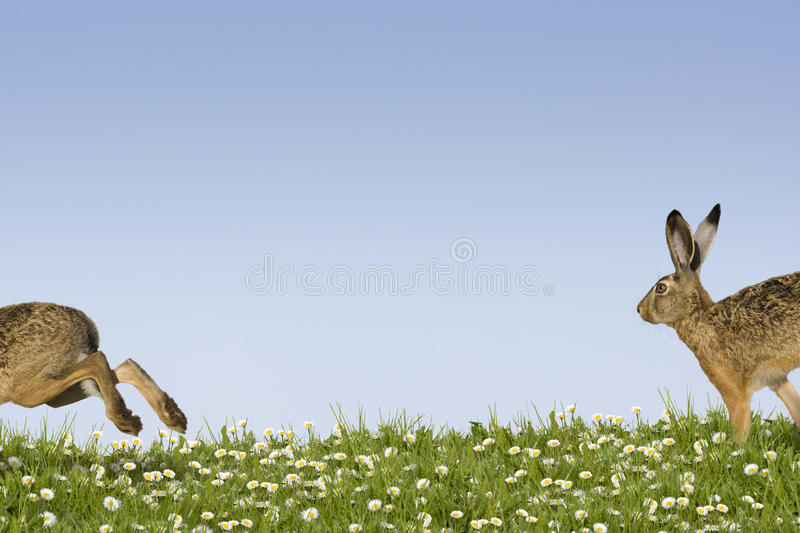 Easter bunny running. Two easter bunnies running across a field of flowers stock photos
