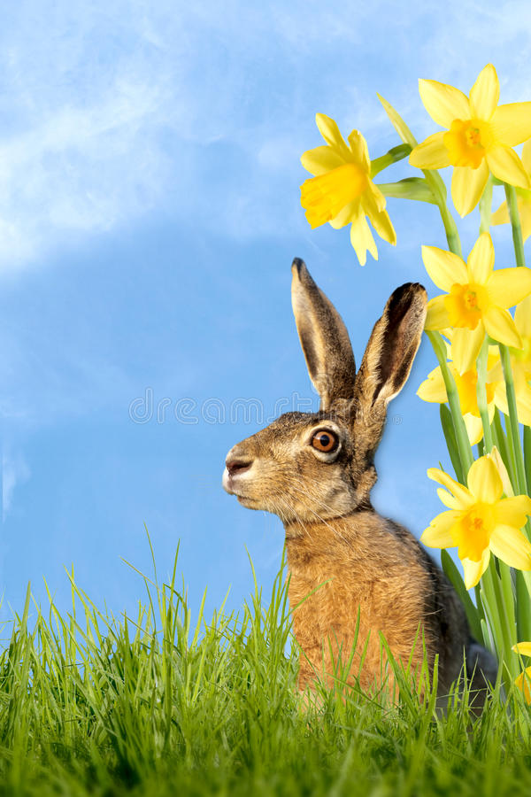 Easter bunny sitting in meadow with daffodils. And easter eggs royalty free stock photos