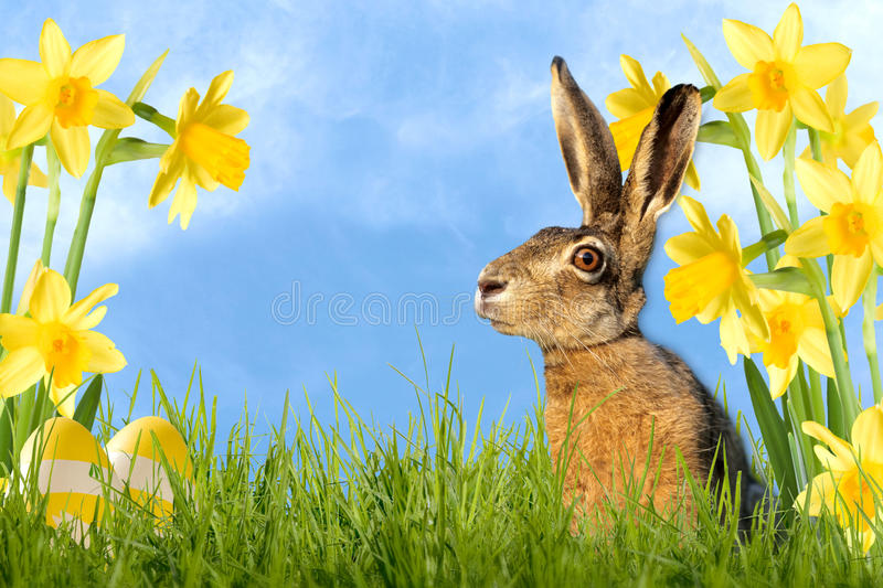 Easter bunny sitting in meadow with daffodils. And easter eggs royalty free stock photo