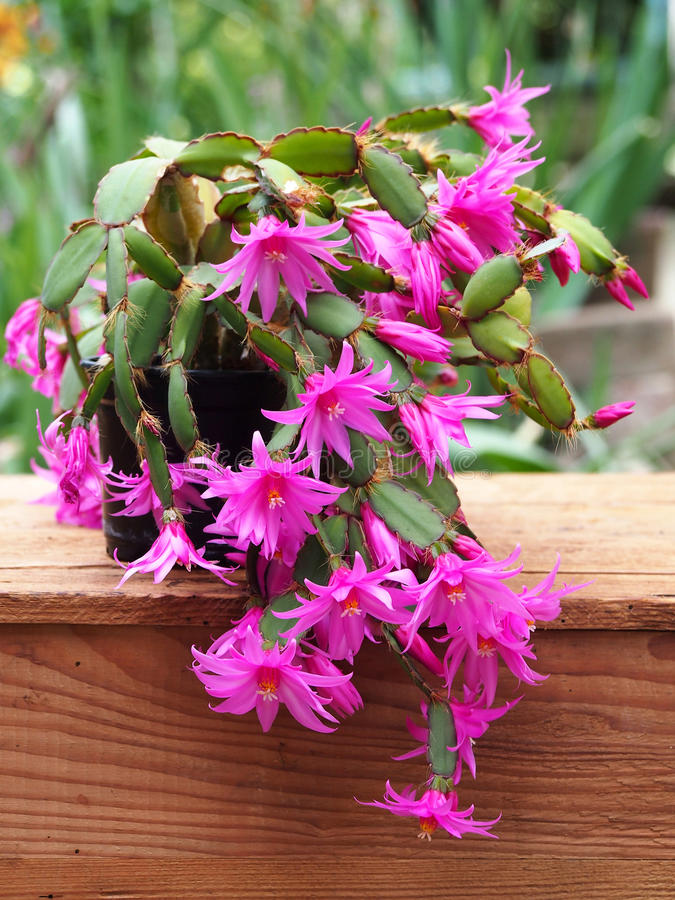 Easter cactus on wooden box with green background royalty free stock image