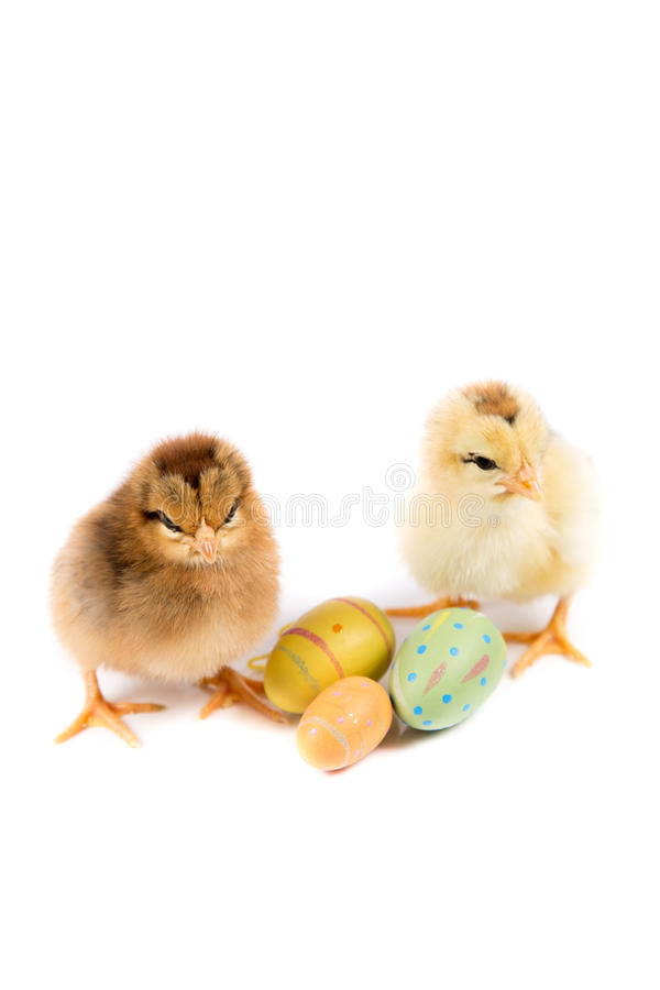 Easter Chicken, Easter Eggs, Easter card on white background stock images