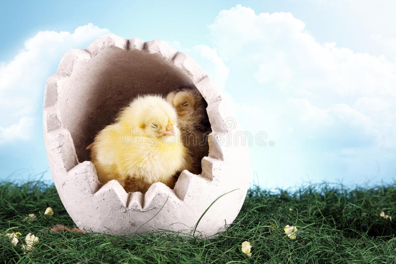 Easter chicken in egg royalty free stock photo