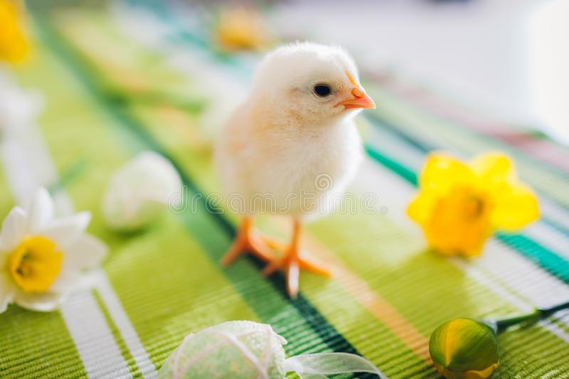 Easter chicken. Little black yellow walking among flowers and Easter eggs. stock photos